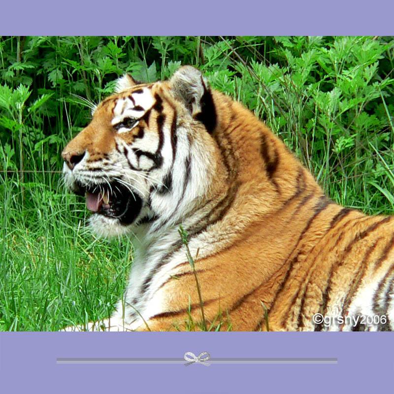 老虎——尽显王者风范(12p)