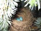 谁偷了知更鸟的蛋?