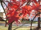 霜染枫叶红