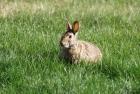 兔子不吃窝边草