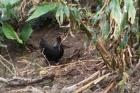 夏威夷的小鸟