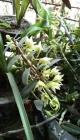 天台石斛兰花花满枝
