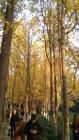 朝晖杏林冬日,满眼皆是黄金甲!
