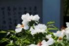 牡丹仙子百花王