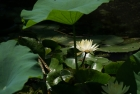 莲与亚马逊王莲