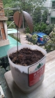 我种的芒果苗