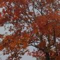 龙井路----霜叶红于二月花